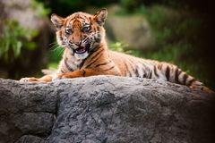 Cute Sumatran Tiger Cub Stock Photo