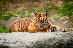 Cute sumatran tiger cub. Laying on a rock Stock Image