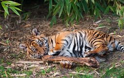 Cute sumatran tiger cub playing. On the forest floor Royalty Free Stock Photos