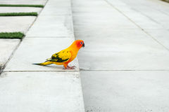Cute Sun conure in lovely posture Royalty Free Stock Images