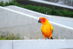 Cute Sun conure in lovely posture Stock Photography