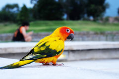 Cute Sun conure in lovely posture Stock Photo