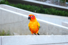 Cute Sun conure in lovely posture Stock Image