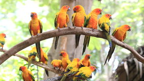 Cute Sun Conure parrot bird group on tree branch. stock footage