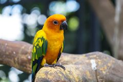 Cute sun conure parrot. At The Field Dream,Thailand Stock Photography
