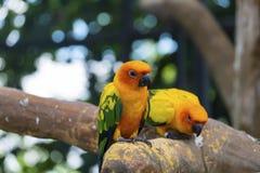 Cute sun conure parrot. At The Field Dream,Thailand Stock Photo