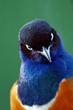 Colored Bird. Cute Superb Starling Royalty Free Stock Photography