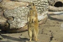 Cute surakat standing in the desert Royalty Free Stock Photography