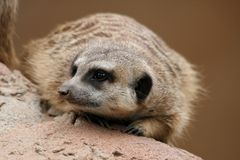 Cute Suricate or Meerkat Royalty Free Stock Images