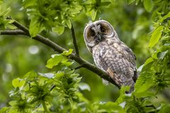 Free Cute Surprised Western Screech Owl Perched On A Tree Branch With Green Leaves In The Forest Stock Photography - 162671002