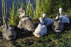 Cute Swan Babies Stock Photo