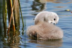 Cute swan chicks Royalty Free Stock Photography