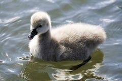 Cute Swan Cygnet Stock Image