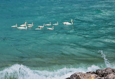 Cute swan family in stormy weather. Learning by doing Royalty Free Stock Photo