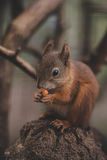 Cute sweet brown squirel. Amazing squirel with the smile Stock Photos
