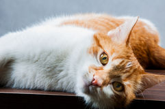 Cute, sweet cat in home Royalty Free Stock Photography