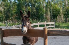 Cute and sweet donkey in the stable.  Stock Photography