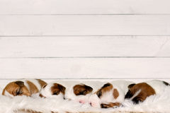 Cute sweet puppies sleeping on a piece of fur with white wood on background Stock Photo