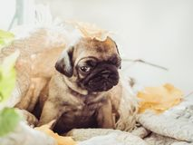 Cute, sweet puppy lying on a blanket royalty free stock photos