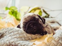 Cute, sweet puppy lying on a blanket stock photography