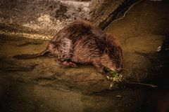 Cute swimming beaver in murky lake water Royalty Free Stock Images