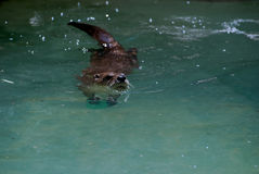 Cute Swimming River Otter on Top of the Water Royalty Free Stock Photo