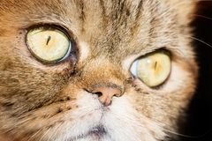 Cute tabby british cat macro face, close up Stock Photo