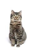 Cute tabby cat Royalty Free Stock Photo