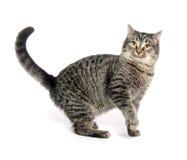 Cute tabby cat Stock Image