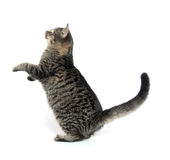 Cute tabby cat. On white background stock photography