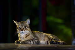 Cute tabby cat Royalty Free Stock Photography