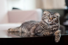 Cute tabby cat. Portrait of cute tabby or moggy cat lying on table in house stock photos