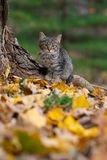 Tabby cat and fall colors royalty free stock photo