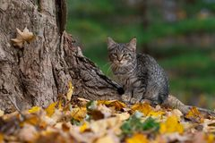 Tabby cat and fall colors. Cute tabby cat at the base of a tree in the woods with fall colors in autumn stock image
