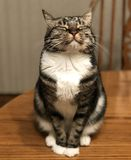 Tabby cat with eyes closed royalty free stock images