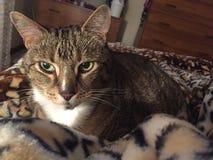 Cute tabby cat | diabetic older tabby. Male Senior Insulin Dependent Tabby Cat resting on his leopard print blanket Stock Photos