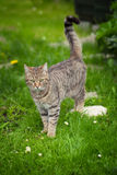 Cute tabby cat with green eyes Stock Image