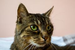 Cute tabby cat has beautiful eyes. she is lying on the bed.  royalty free stock photos