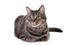 Cute Tabby Cat Isolated on White Royalty Free Stock Image