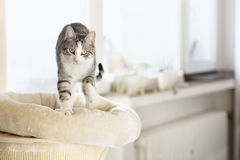 Cute tabby cat kneading and scratching Royalty Free Stock Images