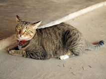 Cute tabby cat lay down on the floor. Close up of cute tabby cat lay down on the floor Royalty Free Stock Photo
