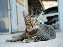 Cute tabby cat lay down and staring to something Stock Images