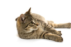 Cute tabby cat Royalty Free Stock Images