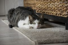 Cute tabby cat is looking at the camera. Sitting on the carpet Stock Photography