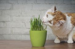 Cute tabby cat looking curious to a flower pot with cat grass. royalty free stock photos