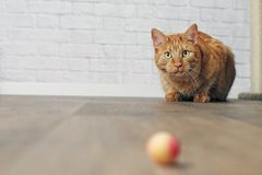 Cute ginger cat in the lurking. Cute Tabby cat looking curious to a toy ball Royalty Free Stock Photography