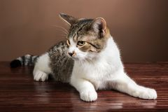 A cute tabby cat looking on hardwood floor. Royalty Free Stock Photography