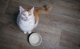 Cute tabby cat looking to the camera and waiting for food. stock photo