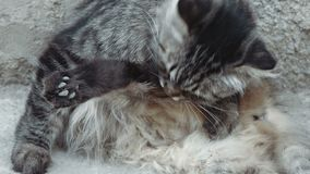 Cute tabby cat lying on the concrete and grooming herself stock footage