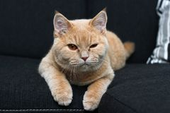 Cute tabyb cat lying on the sofa stock image
